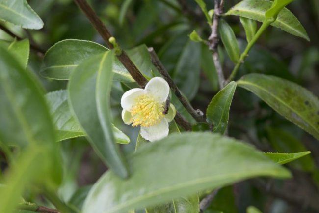olio essenziale di tea tree