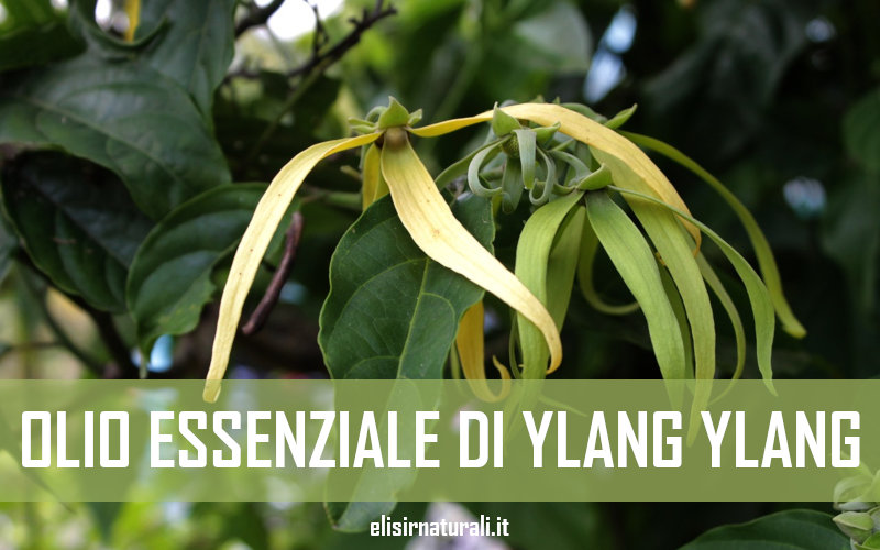 olio essenziale di ylang ylang